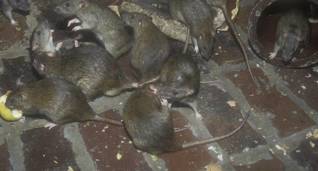 уничтожение крыс в Гусь-Хрустальном